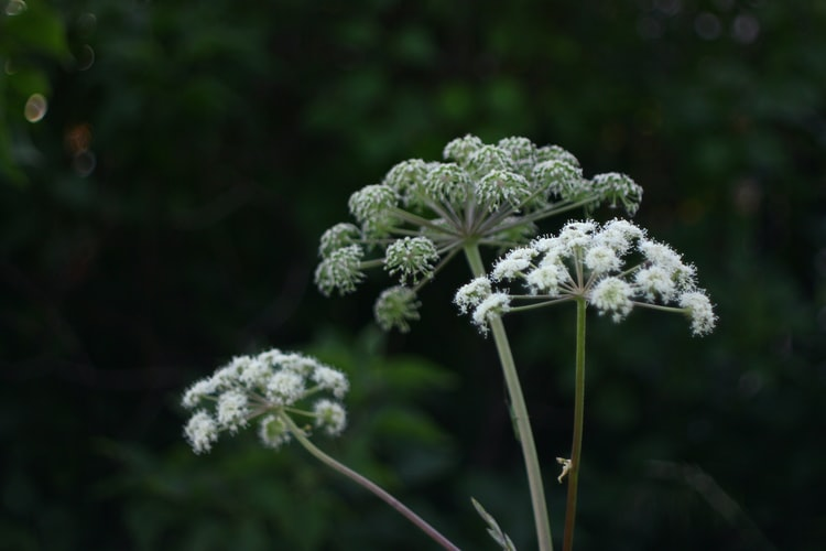 Caution: Deadly Poisonous Hemlock Could Be in Your Yard